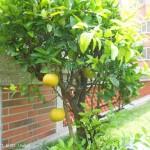 郭元益糕餅博物館 頂樓花園椪柑樹