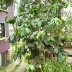 橄欖樹 咖啡樹 1