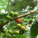 橄欖樹 咖啡樹 2