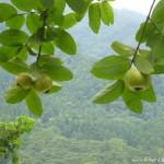 橄欖樹 土芭樂 1