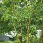 橄欖樹 土芭樂 2