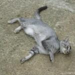 橄欖樹 慵懶的貓