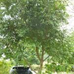 橄欖樹 土肉桂