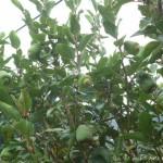 橄欖樹 愛玉 1