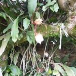 橄欖樹 曇花 1