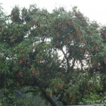 龍眼樹 1