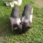 乳牛的家 可愛動物區 小豬 2