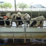 乳牛的家 可愛動物區 乳牛