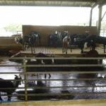 乳牛的家 可愛動物區 羊