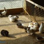 乳牛的家 可愛動物區 兔子