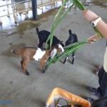 乳牛的家 可愛動物區 牧草餵羊 1