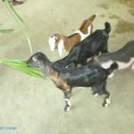 乳牛的家 可愛動物區 牧草餵羊 2