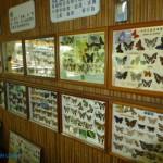 乳牛的家 蝴蝶標本
