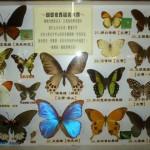 乳牛的家 蝴蝶標本 蝴蝶世界選美大賽 2